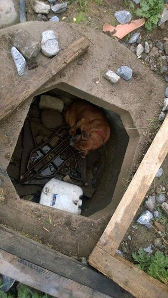 Когда Белла перестала приносить здоровых щенков, заводчик выбросил ее в яму, накрыв досками
