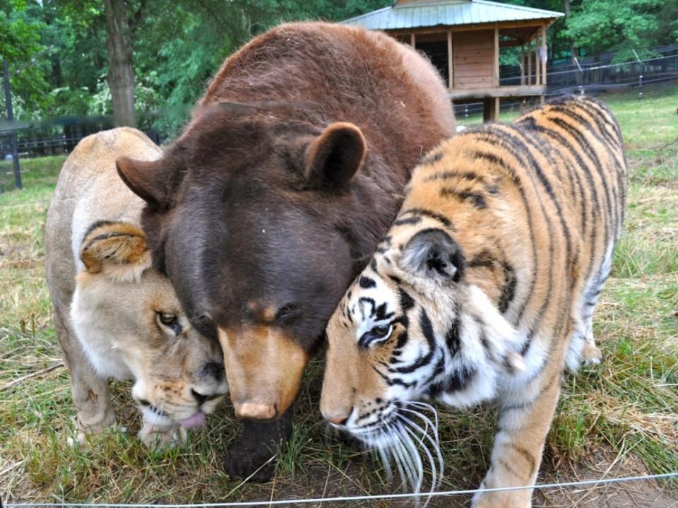 Фантастическая дружба льва, медведя и тигра покорила весь мир! Невероятная история!