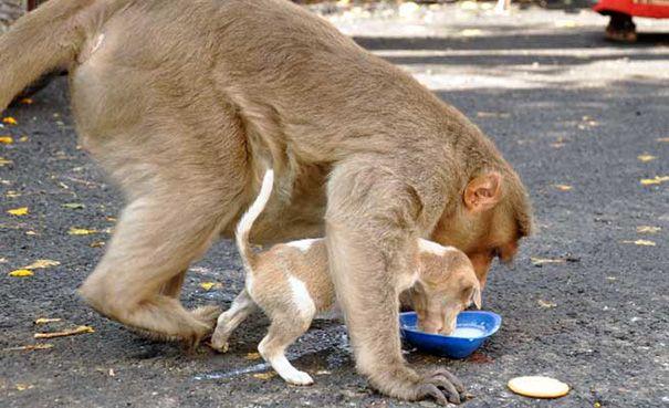Обезьяна «усыновила» бродячего щенка и ухаживает за ним, как настоящая мама