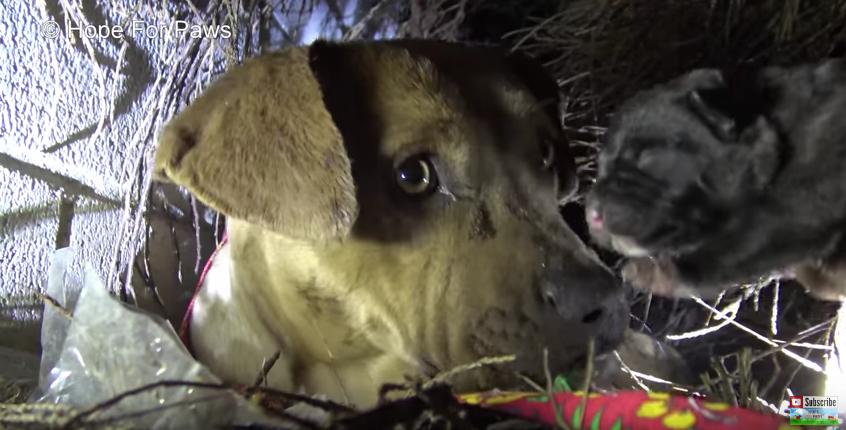 Питбуль целовала каждого щенка, которого забирали люди. Она думала, что не увидит их больше…