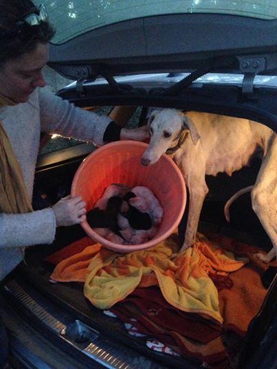 Собака со сломанной лапой шла 3 км, чтобы привести волонтеров к своим щенкам! Настоящая мать-героиня!
