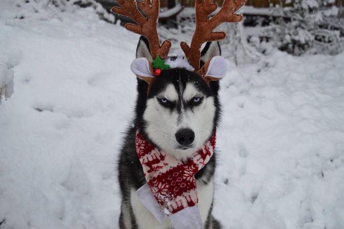 Хозяйка попыталась сделать новогоднюю фотосессию для своего хаски,но ему явно не понравился костюм!