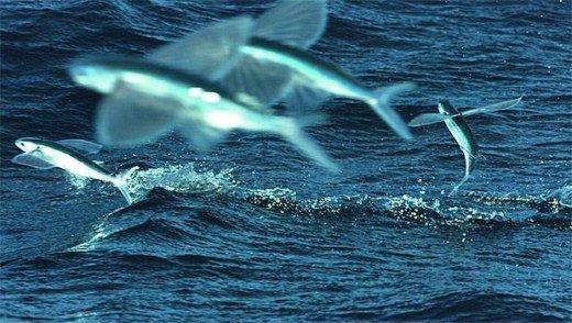 стая летучих рыб