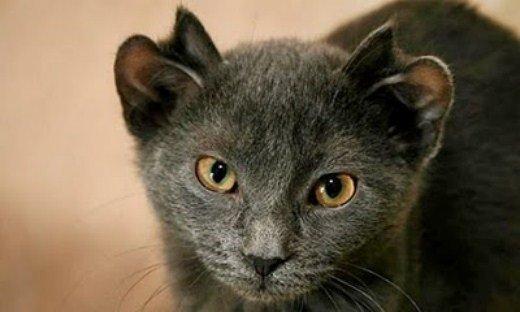 милый кот с четыремя ушами картинки