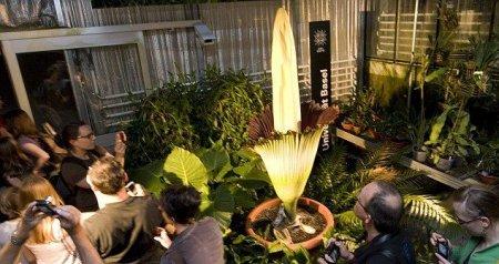 Титан Арум самый вонючий цветок в мире