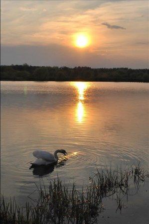 Белые лебеди (9 фото)