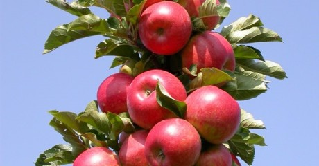 Посадка колоновидной яблони и уход за ней