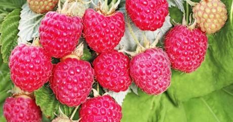 Как получить обильный урожай малины. Борьба с болезнями