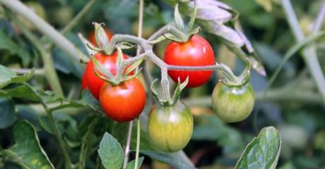 Выращиваем томаты без проблем. Несколько советов