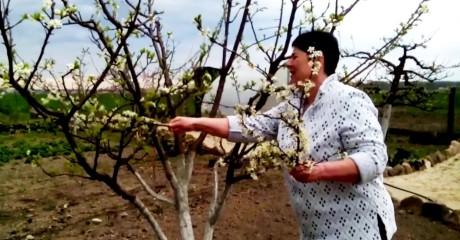 Если в саду одна груша, как ее опылить, чтобы получить урожай?