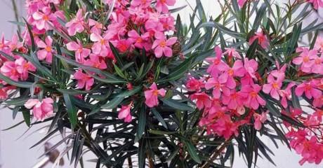 Какие комнатные растения вредны для здоровья человека