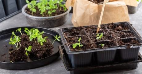 Правильная пикировка рассады — залог урожайности. В чем тонкости?