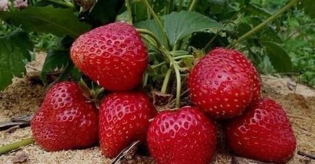 3 способа защиты клубники для хорошего урожая