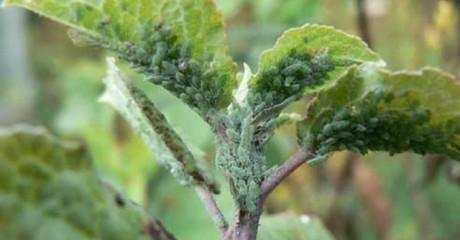 Как спасти плодовые деревья от зелёной яблоневой тли