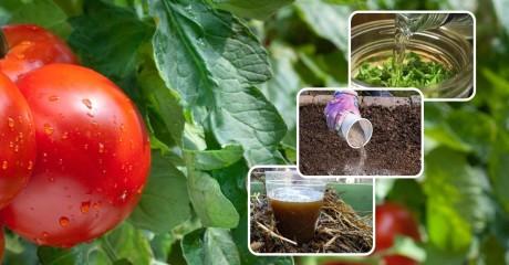 В чем польза томатной ботвы. 5 способов использования