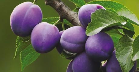 Гарантия обильного урожая: 5 правил ухода за сливой в начале сентября