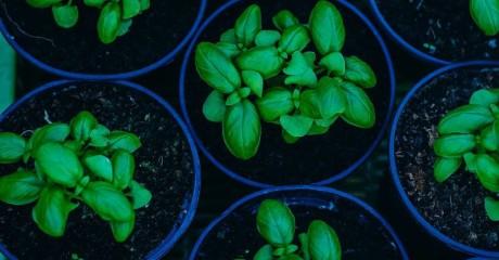 Проблемы при выращивании рассады базилика