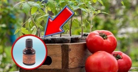 В чём польза йода для томатов