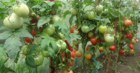 Почему томаты не созревают. 5 способов ускорения