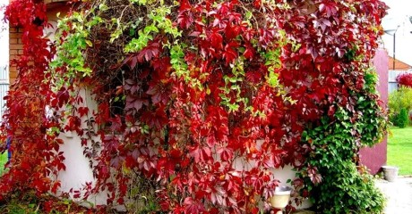 Вертикальное озеленение декоративным виноградом. Особенности выращивания