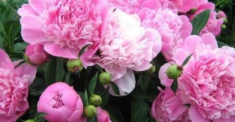 Как вырастить роскошно цветущие пионы?
