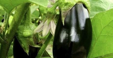 7 секретов отличного урожая баклажанов