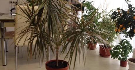 Как создать тропики в доме. Драцена окаймленная