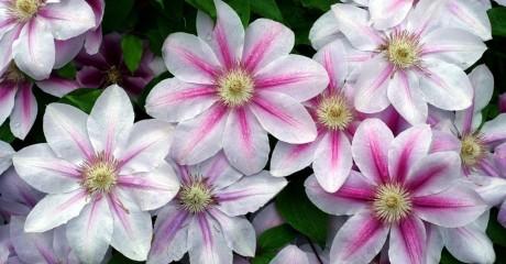 Правильная посадка клематисов — залог хорошего роста и цветения