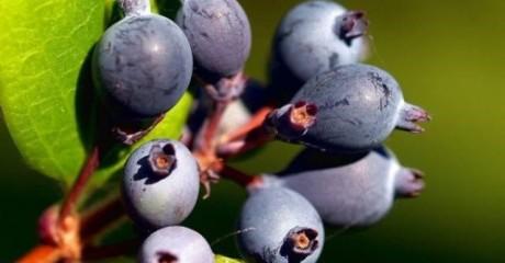 «Для многих декоративная»: Ягода ирга: полезные свойства и противопоказания.
