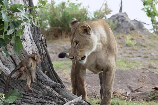 Львица схватила обезьяну с маленьким детёнышем. Казалось — трагедия неизбежна, но хищница поразила всех!