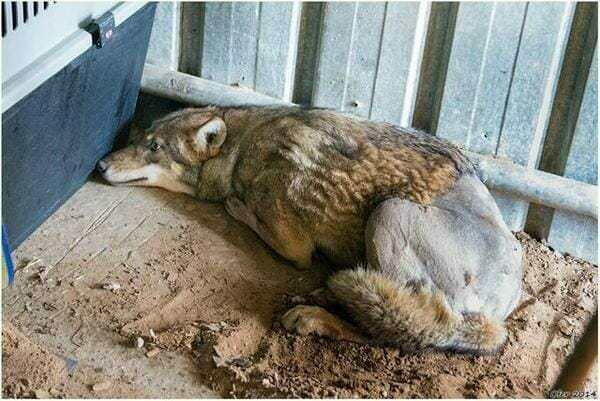 «Это же волк», — говорили все, «Так ему и надо». Но мужчина достал сбитого чьим-то автомобилем волка из канавы и вот, что произошло потом