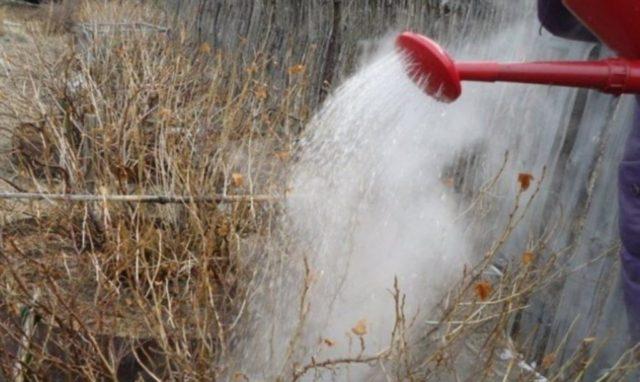 Как получить богатый урожай смородины? Обработка кустов весной