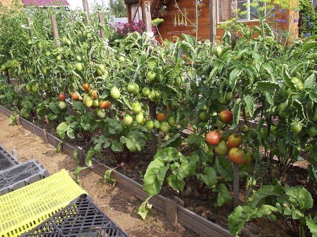 Особенности высадки томатов в открытый грунт