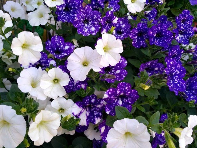 Чем удобрять петунию на клумбе для обильного цветения