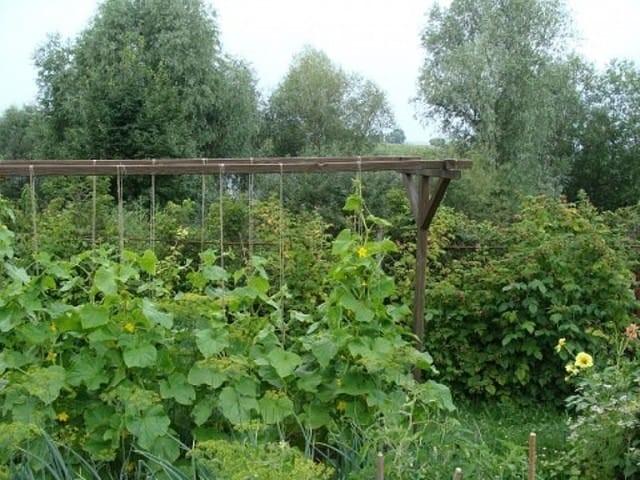 Зачем нужно прищипывать огурцы, или как получить большой урожай
