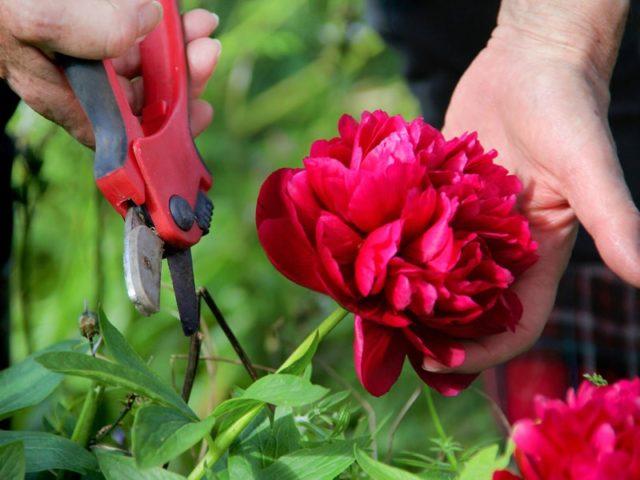 5 советов по уходу за пиономи после цветения
