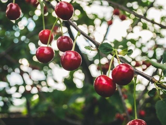 Как заботиться о вишневом дереве, чтобы получить хороший урожай