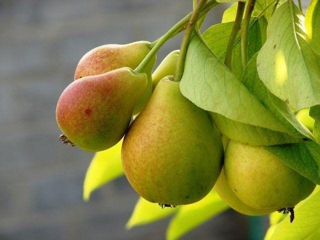 Особенности ухода при выращивании груши