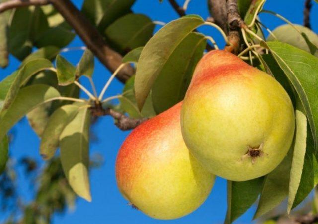 Как ухаживать за грушей в сентябре для повышения урожайности