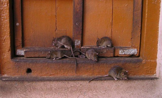 Как защитить свой дачный домик от мышей, если всю зиму вы туда не ездите