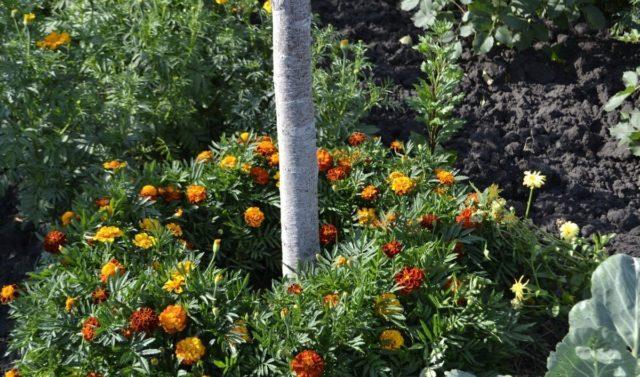Что можно посадить в приствольный круг плодовых деревьев?