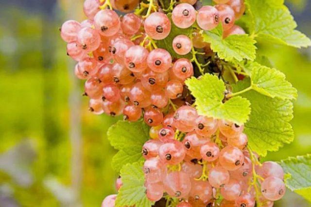 Почему розовая смородина лучше, чем обычная?