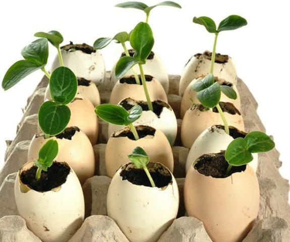 Яичная скорлупа: её использование огородниками