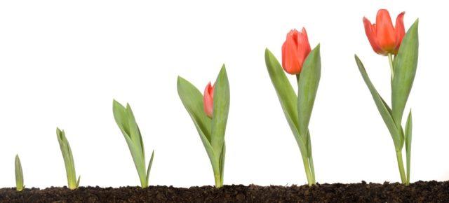 Несколько секретов о тюльпанах, которые помогут сохранить сортовые цветы