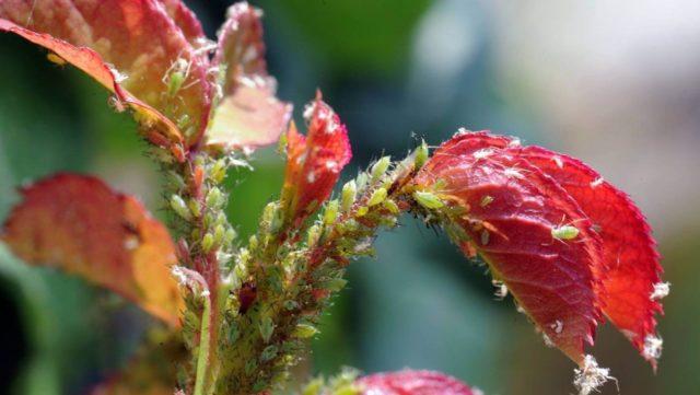 Почему роза теряет листья, как ей помочь?