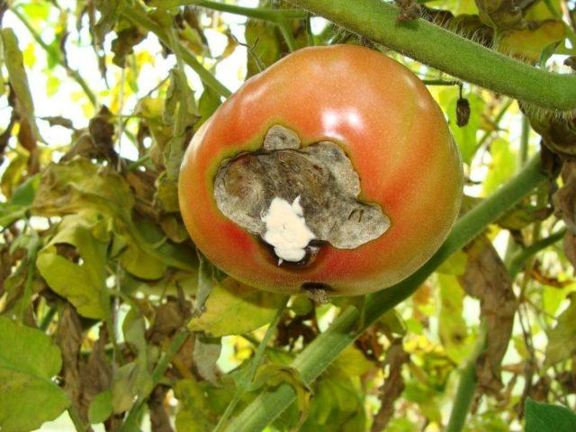 Что такое вершинная гниль томатов и как с ней бороться?