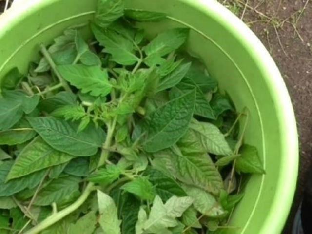 «Не нужно выбрасывать»: Как использовать ботву от помидор после сбора урожая?