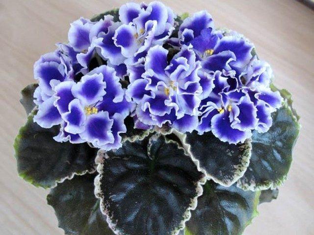 «Домашнее» питание фиалок для пышного цветения