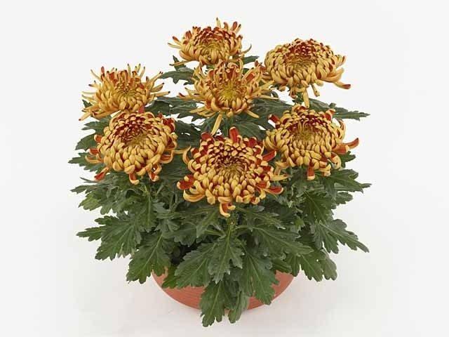 Яркие краски глубокой осенью – комнатная хризантема