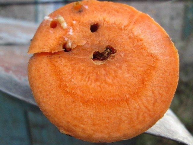 Как отпугнуть морковную муху? Безопасные средства и способы